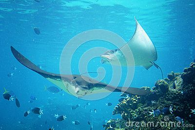 Stingrays Underwater - Download From Over 27 Million High Quality Stock Photos, Images, Vectors. Sign up for FREE today. Image: 47068861