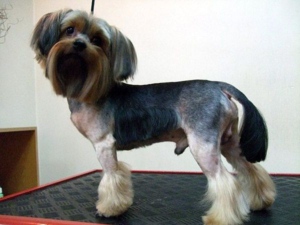 17 Best Images About Yorkies With Full Tails Undocked