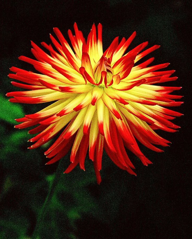 Dahlia 'Weston Spanish Dancer' - Feed your plants with GrowBest from http://www.shop.embiotechsolutions.co.uk/GrowBest-EM-Seaweed-Fertilizer-Rock-Dust-Worm-Casts-3kg-GrowBest3Kg.htm