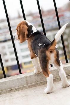 Waiting for someone? #beagles #pets http://www.nojigoji.com.au/