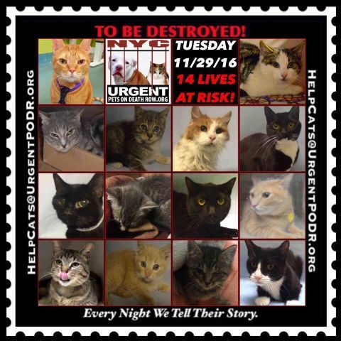 """TO BE DESTROYED 11/29/16 - - Info  Please Share:Please share View tonight's list here: http://nyccats.urgentpodr.org/tbd-cats-page/  The shelter closes at 8pm. Go to the ACC website( http:/www.nycacc.org/PublicAtRisk.htm) ASAP to adopt a PUBLIC LIST cat (noted with a """"P"""" on their profile) and/or … CLICK HERE FOR ADD...-  Click for info & Current Status: http://nyccats.urgentpodr.org/to-be-destroyed-091716/"""