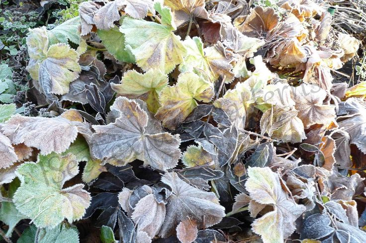 Frost Lady's Mantles (leaves) instant digital download photograph, almost rococo foliage, subtle colours of decay, texture enhanced by frost by ISeeTexturesPattern on Etsy