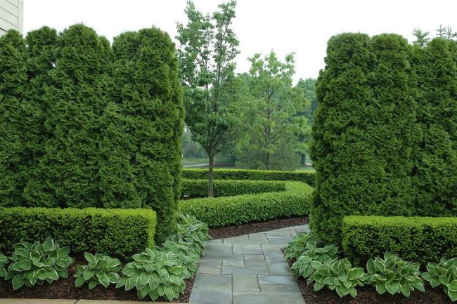 Boxwood (46 pics): planting, breeding, grooming secrets