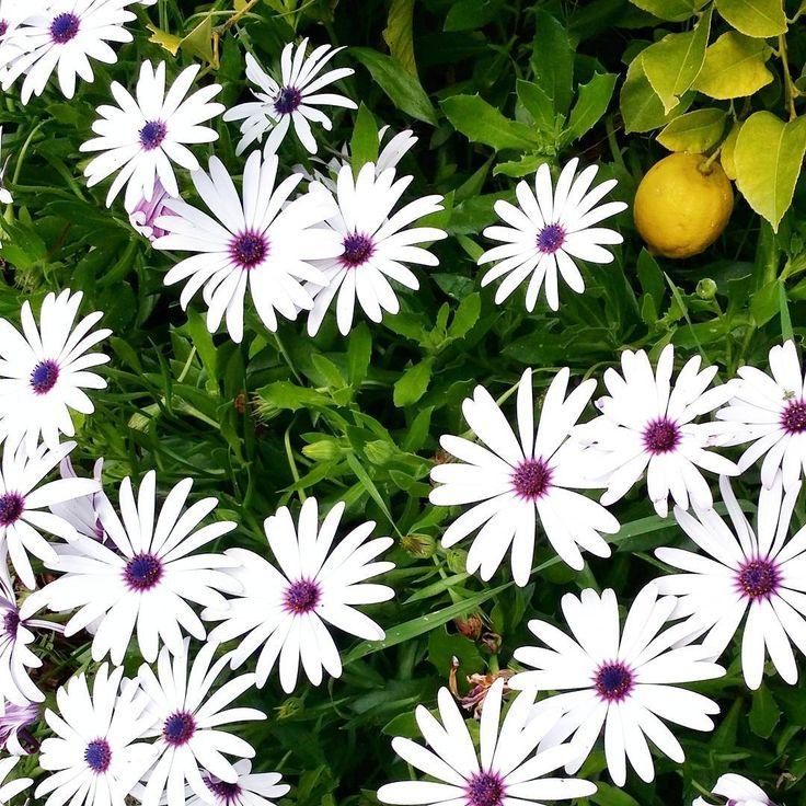 Monday flowers (and a lemon)  #mondayflowers #brightenupmonday #flora #lemon #spring #daisies #floraphotography #botanicalpickmeup