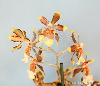 A beautiful orchid with yellow and brown petals
