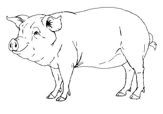 504 best images about graphics and objects for art and for Realistic pig coloring pages