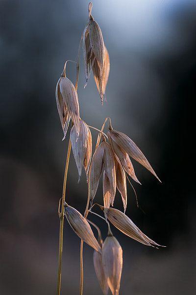 Grass Seed Pods - Dinah Beaton Photography
