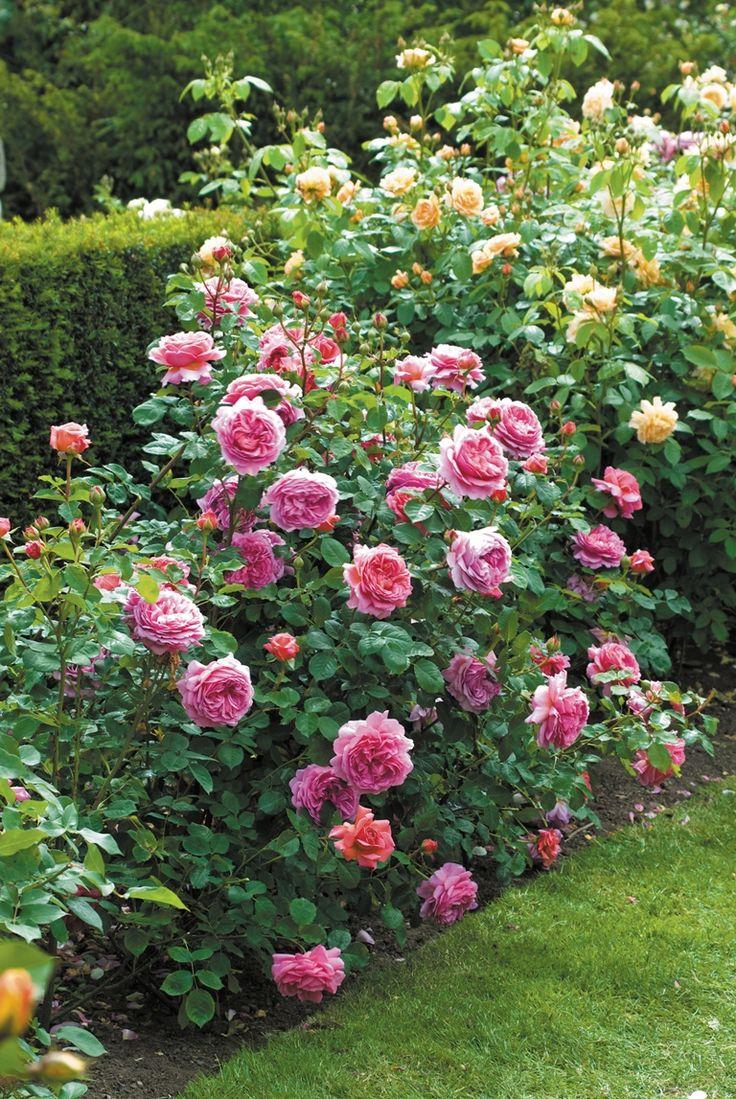 Rose flower garden pictures - Rose Flower Garden Pictures
