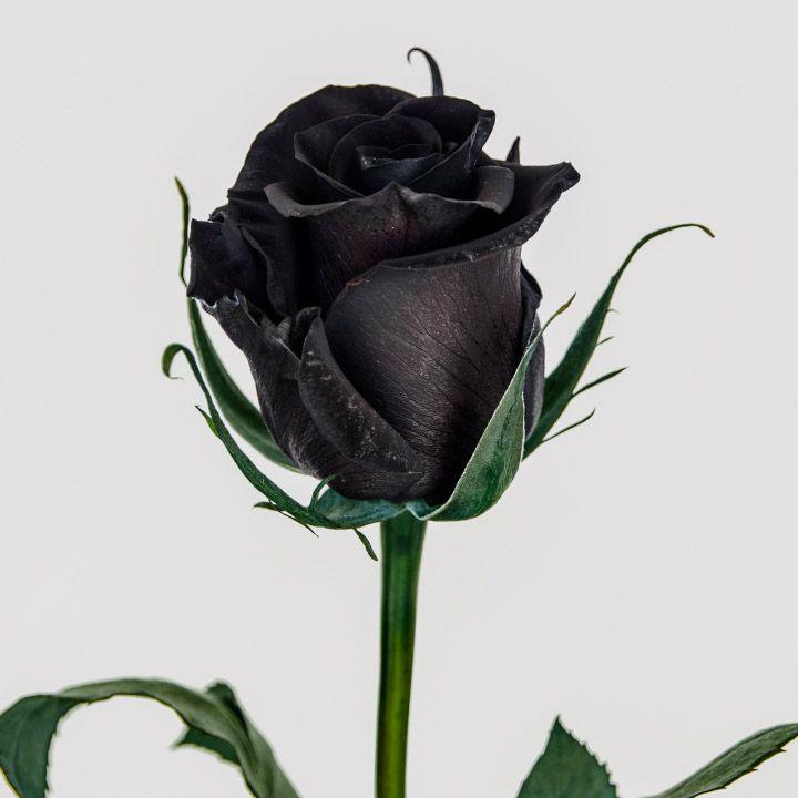 Nuestras Variedades | Eden Roses 2016