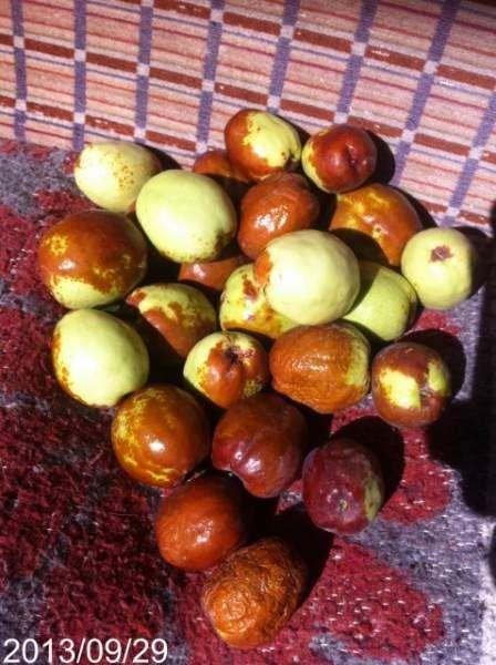 Olgunlaşmış hünnap meyvesi Büyüklük:  46,4 KB (Kilobyte)