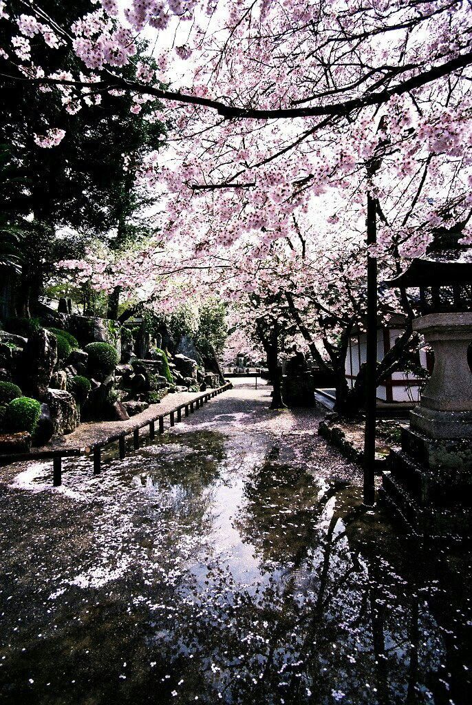 Cherry Blossoms After The Rain Cherry Blossom Japan Japan Wonders Of The World
