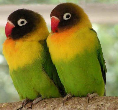 Agopornis (from Greek LoveBird). Their name stems from the parrots' strong, monogamous pair bonding and the long periods in which paired birds will spend sitting together