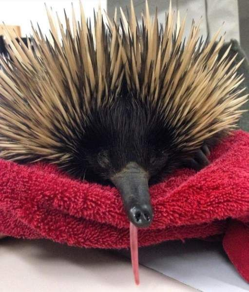 Sticking his best beak forward was not a wise idea for George the echidna, who recently ended up with a fractured beak near the town of St George, Queensland. But thanks to a kind rescuer and the staff at the UQ Vets Small Animal Hospital at the UQ Veterinary School, George has made a full recovery and is ready to defend his territory.