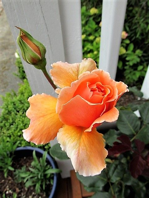 "First bloom from my potted Tea rose ""Just Joey"". Love the colour, the frilled petals and the gorgeous scent."