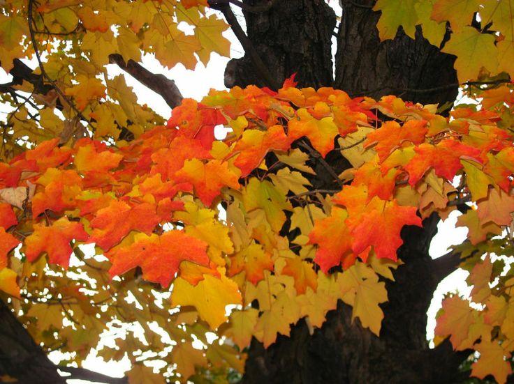 Autumn Leaves - orange