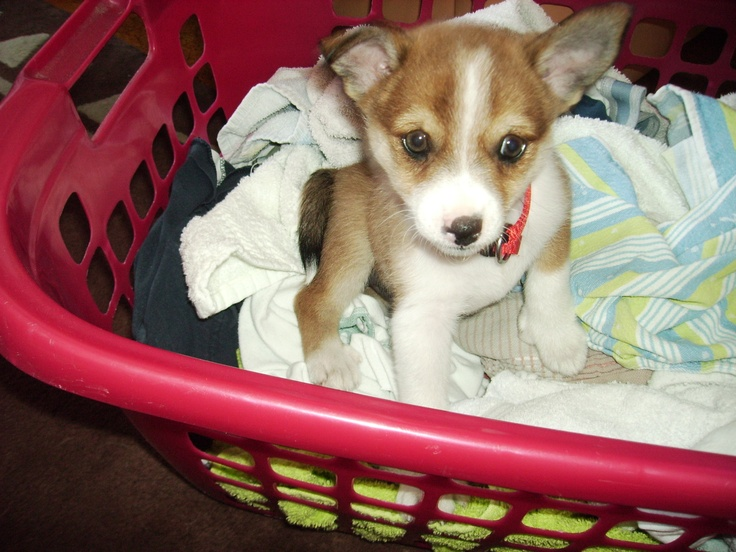 Obrima's Uraya as a pup helping with the laundry
