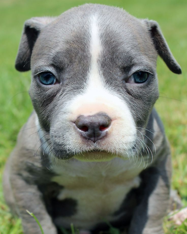 Here is a  photo of an amazing male blue pitbull puppy that we produced in a past litter. To see our available blue pitbull puppies for sale visit http://www.bluefirepits.com . #bluepitbullpuppiesforsale #bluepitbull #bluepitbullbreeders #bluenose #bluenosepit #bluefirepits #likesforlikes #like4like #likeforlike #blueeyes #puppies #pup #cute #ny #nyc #picoftheday #puppyoftheday #petstagram #pets_perfection