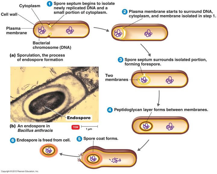 Endospores | MCAT | Pinterest | Microbiology