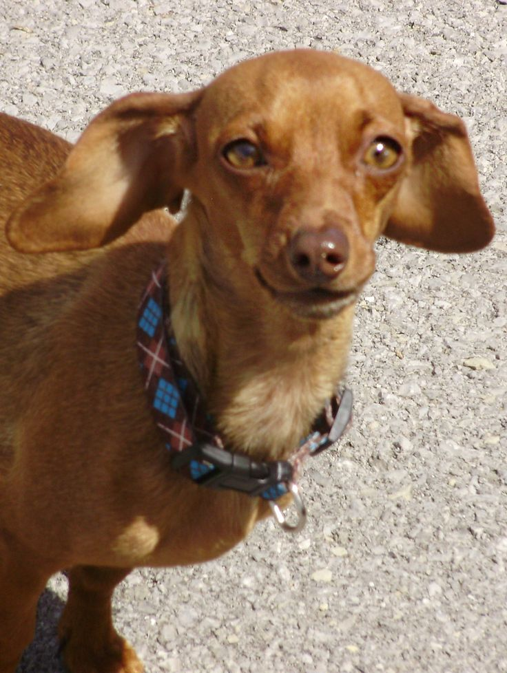 RESCUED!DARLA is an adult, female Dachshund in need of