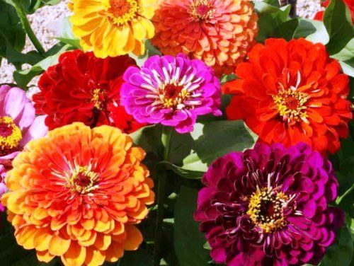 Growing Zinnia Flowers Easy Plants For Your Landscape And Containers