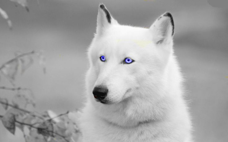 White Wolf With Purple Eyes Pretty Edit Whi...