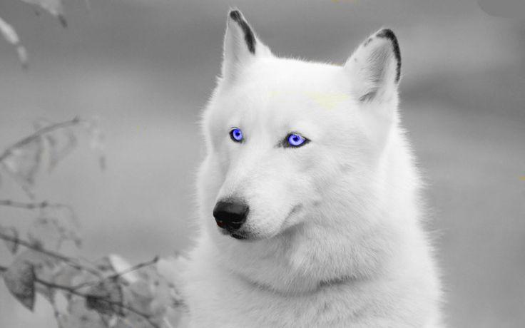 Pretty Edit White Wolf By JumpinWombango On DeviantArt