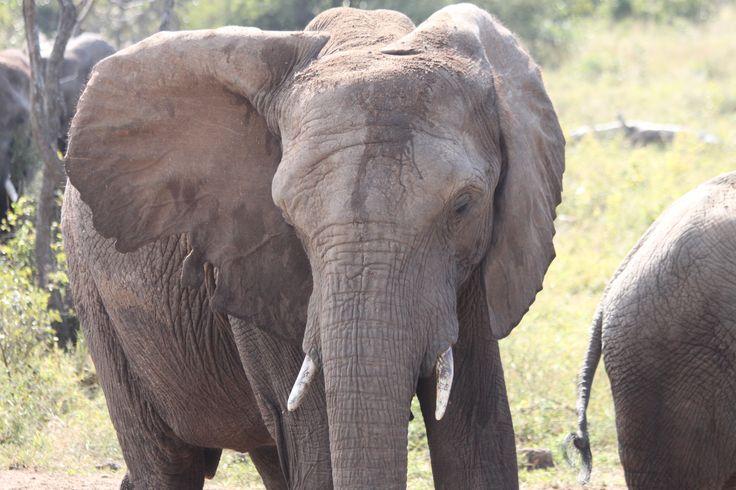 Elephant cow, Lundi has small tusks.