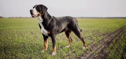 Get to Know the Greater Swiss Mountain Dog: An Ancient, Giant Breed From the Swiss Alps