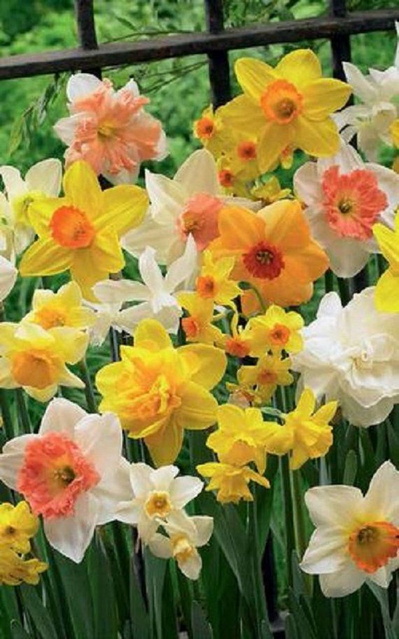 5 Mixed Yellow Orange White Daffodil Mix Bulbs Garden Hardy Perennial Fall Narcissus Bee Spring Flow Container Flowers Flower Landscape Garden Bulbs