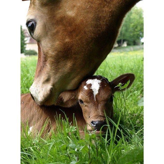 De moederliefde van een koe