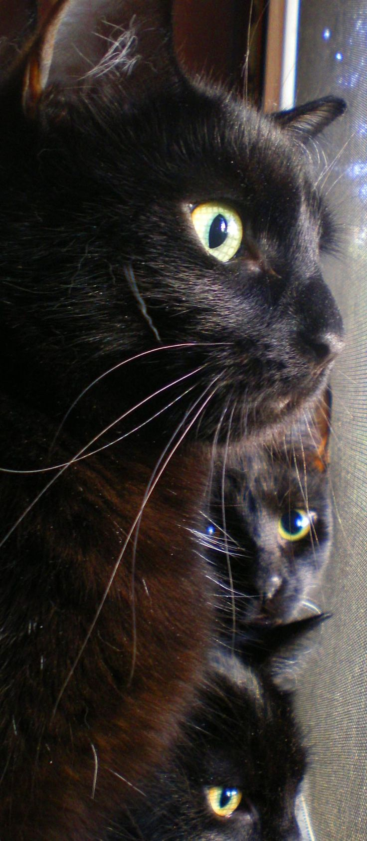 19 best black cats images on pinterest cats black and every day black cats at window n you imagine coming home to this furry family amipublicfo Gallery