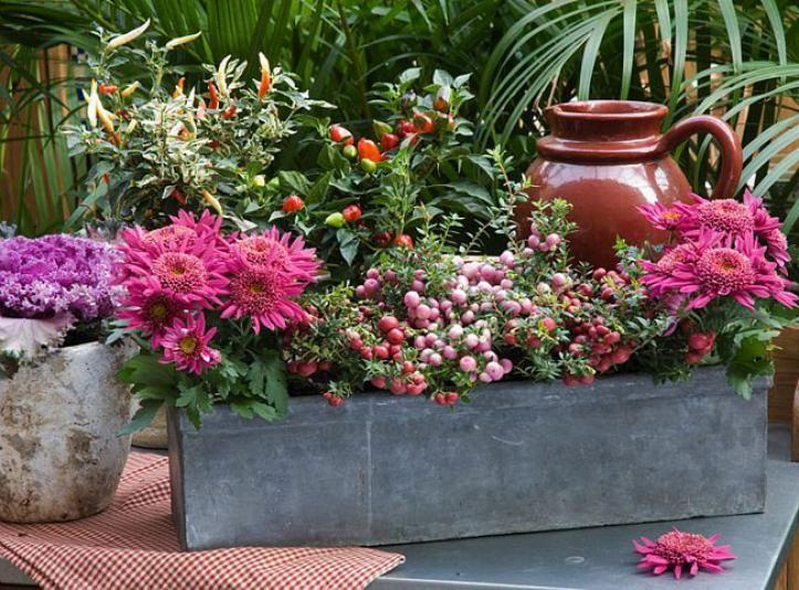 Chrysanthèmes et pernettyas pour jardinière automnale résistante - F. Marre - Jardinerie Ferme de Gally - Rustica