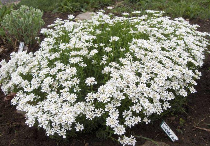 17 meilleures images propos de plantes couvre sol sur pinterest fleurs blanches soleil et. Black Bedroom Furniture Sets. Home Design Ideas