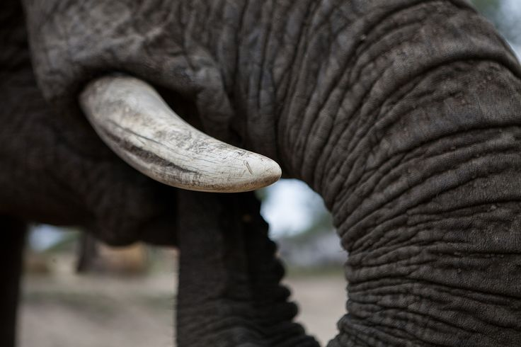 Detail tusk & trunk of an elephant.
