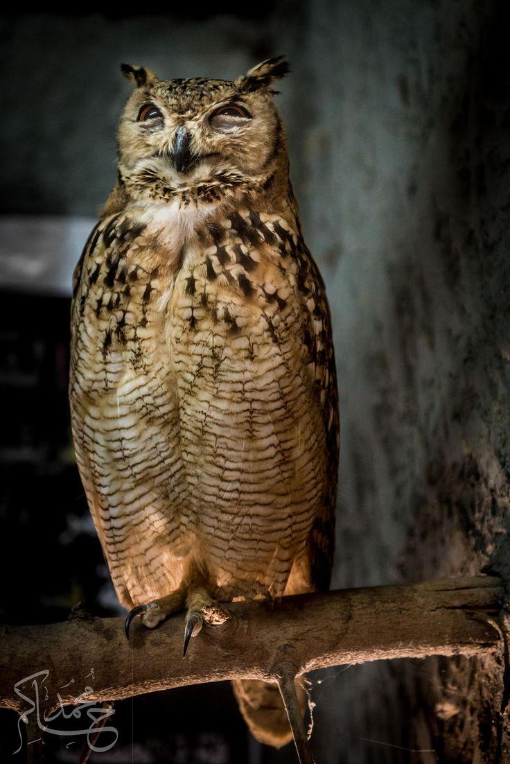 the beuatiful owl