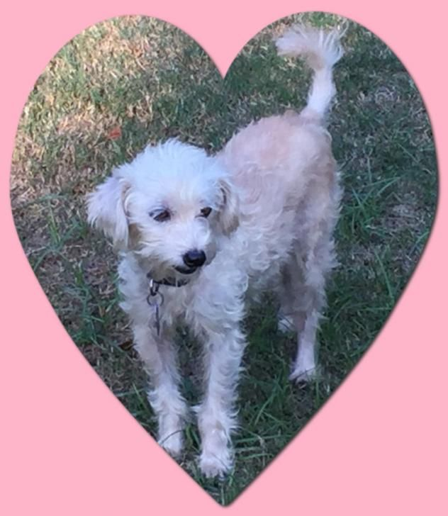 Adopt Adopted Jazzie N Tx On Bichon Frise Pet Adoption Adoption