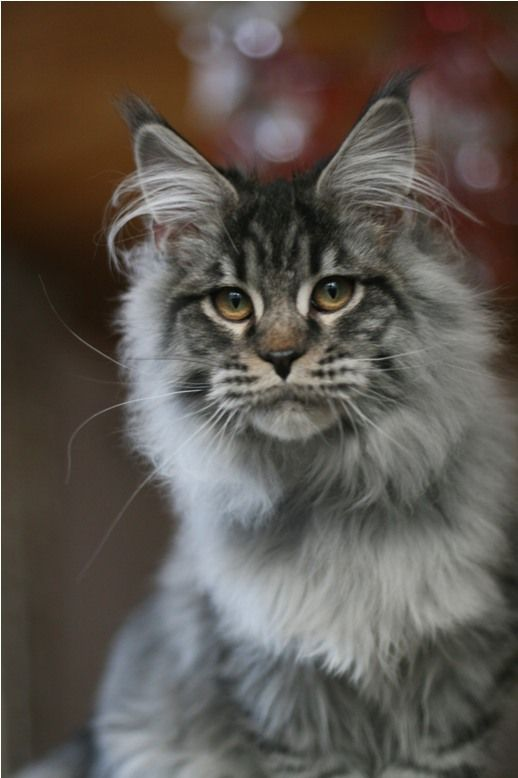 .Maine Coon cat...so beautiful!