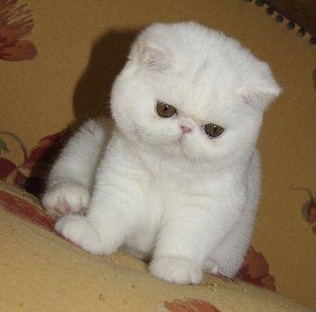 White exotic shorthair kitten