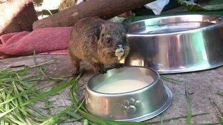 This Rock Hyrax loves her milk.....