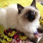 http://www.floppycats.com/do-ragdoll-cats-shed.html