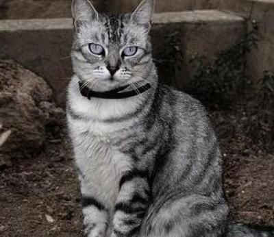 American Wirehair Cats | American Wirehair Cat Breed Info & Pictures | petMD