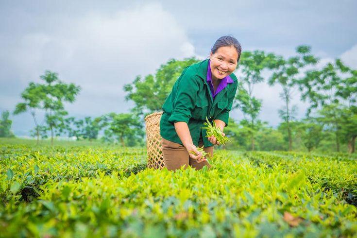 Greening vietnams tea industry indian tea tea