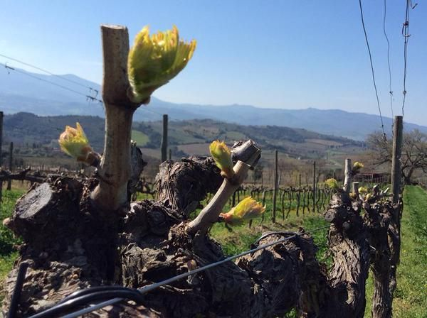 The growth of vine leaves in our San Polo Vineyard in Tuscany.