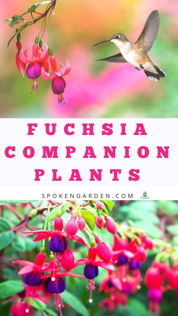 Fuchsia Companion Plants Can Enhance Your Landscape And Provide Stunning Color Combinations Get Land Companion Planting Fuchsia Plant Pollinator Garden Design