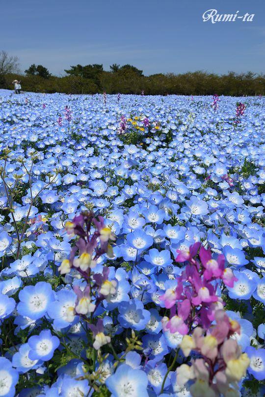 海ノ中道海浜公園より..ネモフィラの丘は5月が見頃!博多の観光名所。