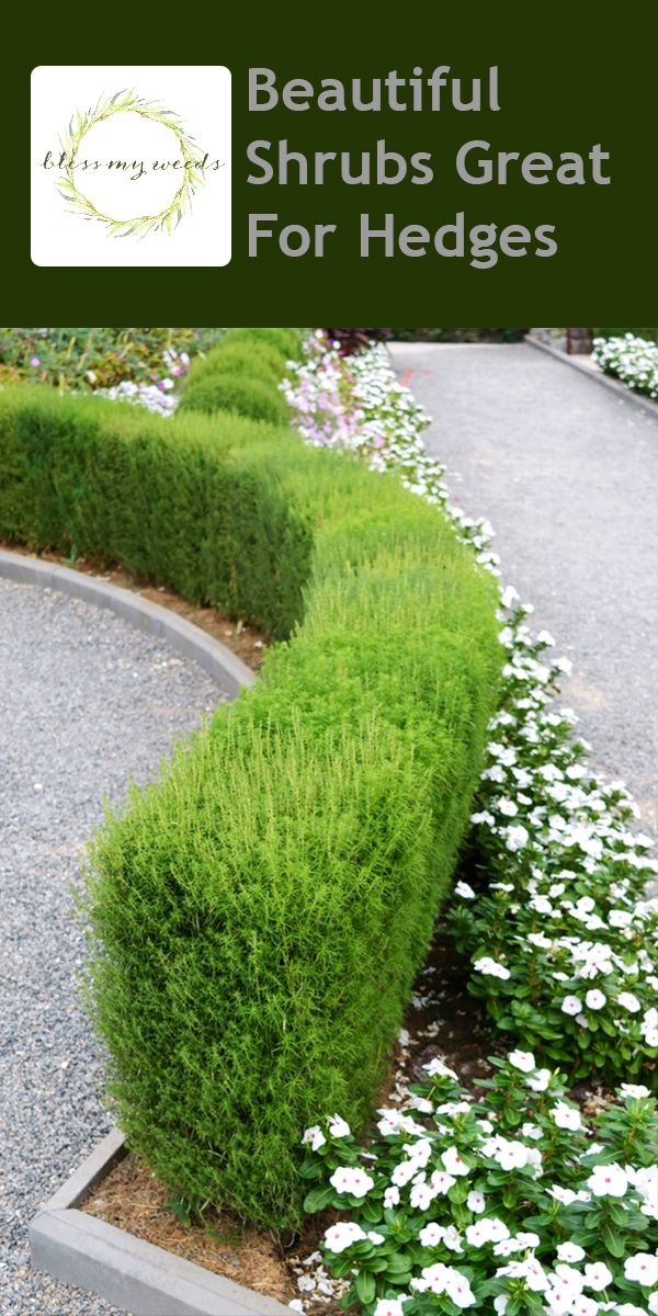Beautiful Shrubs Great For Hedges Bless My Weeds Hedges Landscaping Garden Hedges Landscaping Shrubs