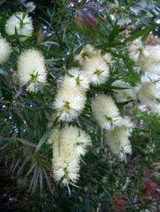 white callistemon in a bouquet - Google Search