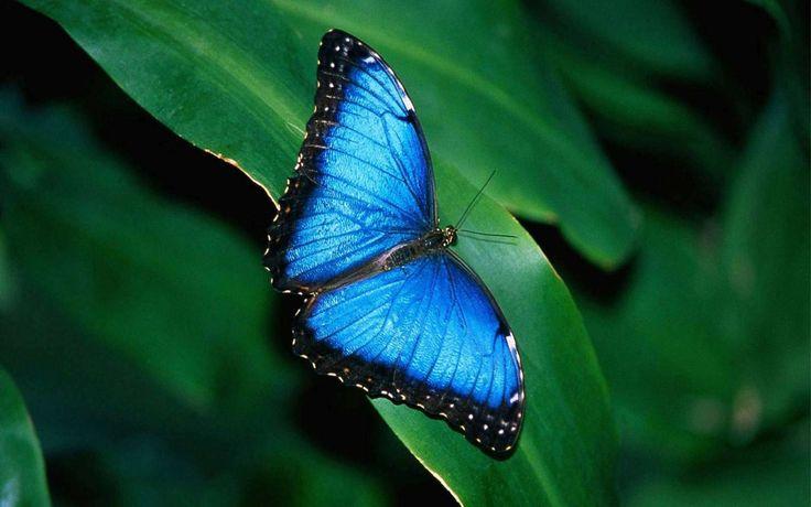 Horse wallpaper BLUE BUTTERFLY Blue Butterfly Widescreen