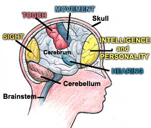 Each individual section of the brain is in charge of a specific thing. The cerebellum, cerebrum, and brain stem are essential in keeping the human body working.