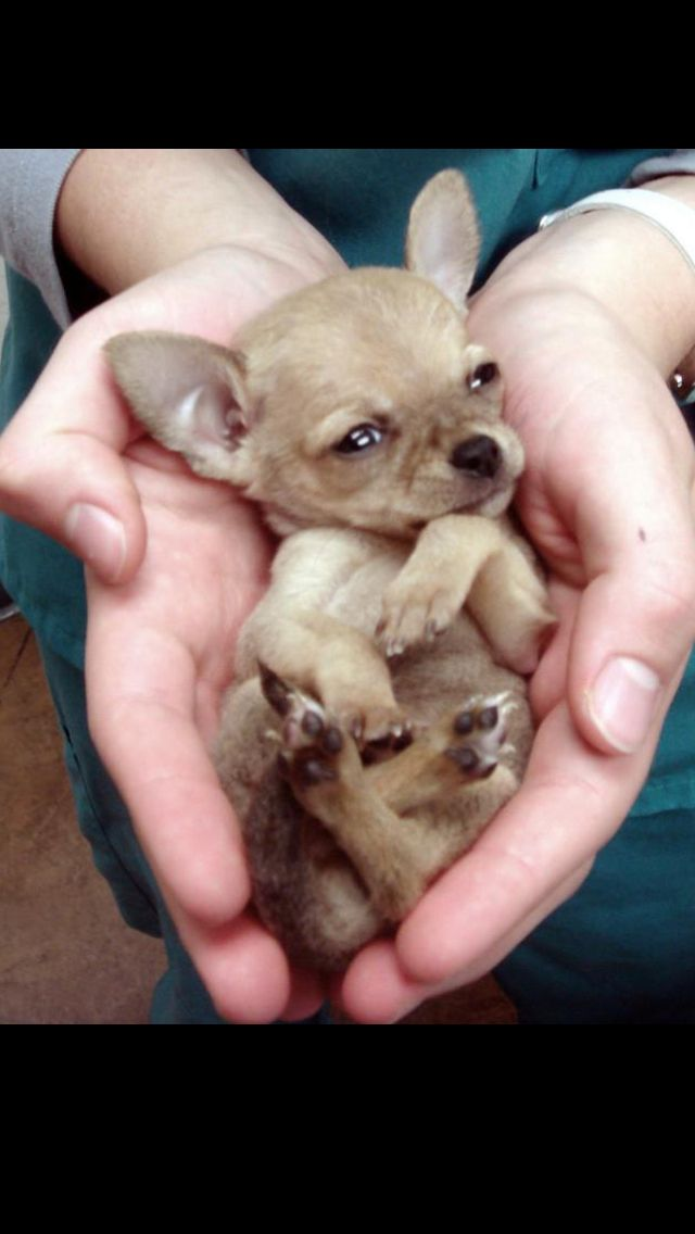 """this is what a """"normal"""" chihuahua puppy should look like..not with some giant head, and bulging eyes..."""
